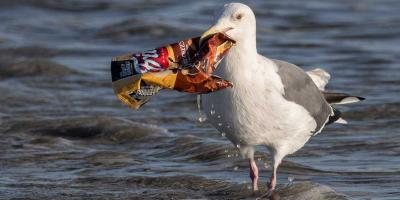 Bird eating trash